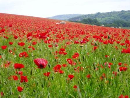 Mount_joy_poppies_1